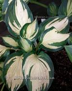 "Hosta""Almost Heaven"""
