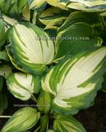 "Hosta ""Child of the Queen"""