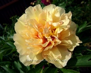 Paeonia  Canary Brilliants(ITOH)