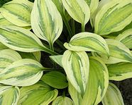 "Hosta ""Captain Adventure"""