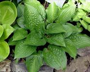 "Hosta "" Celtic Uplands"