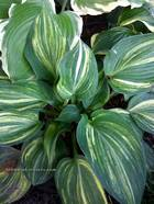 "Hosta ""Confused Angel"""