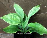 "Hosta ""Eagle's Nest"""