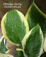 "Hosta ""Elbridge Gerry"""