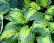"Hosta ""Emerald Charger"""