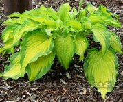 "Hosta"" Emerald Ruff Cut"""