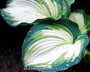"Hosta ""Eskimo Pie"""