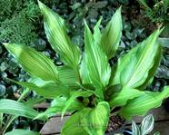 "Hosta ""Eye of the Dragon"""