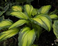 Hosta 'First Love'
