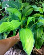 "Hosta ""Flemish Beauty"""