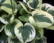 "Hosta "" Fragrant Queen """