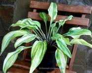 "Hosta ""Gretchen's Rainbow"""