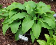 Hosta Gretchen's Grace