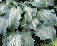 "Hosta ""Guardian Angel"""