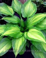Hosta ' HIGH VOLTAGE'