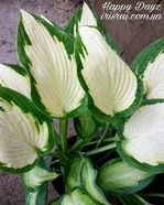 "Hosta ""Happy Dayz"""