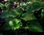 Hosta ' Irish Luck '