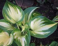 Hosta 'Jerry Landwehr'