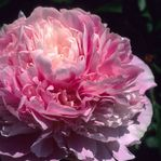 Paeonia Junior Miss