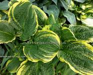 Hosta 'Lakeside Prophecy Fulfilled'
