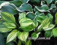 "Hosta ""Lakeside Mom"""