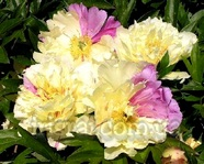 Paeonia Lemon Dream. itoh