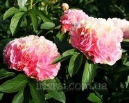 Paeonia Lois Choice