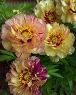Paeonia Lollipop. itoh