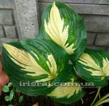 "Hosta ""My Child Insook"""