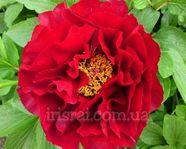Paeonia Mackinac Grand