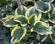"Hosta "" Majestic"""