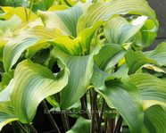 "Hosta ""Monkey Business"""