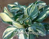 "Hosta""One Lota Supreme"""