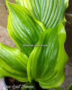 "Hosta""One Last Dance"""