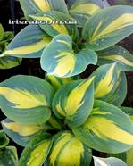 Hosta 'Party Popper'