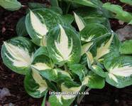 Hosta ' Pathfinder""