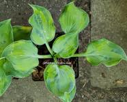 "Hosta ""Pinani Splash"""