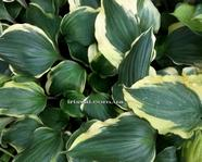 Hosta 'Proud Treasure'