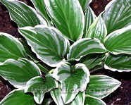 Hosta 'Royal Charmer'