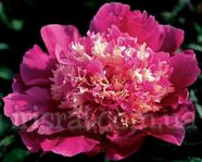 Paeonia Spiffy