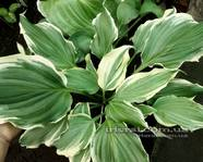 "Hosta ""Sultans of Swing"""