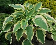"Hosta  ""TROPICAL DANCER"""