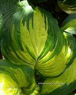 "Hosta "" The Queen """