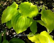 "Hosta "" Valley's Lemon Squash"""