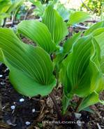 "Hosta "" Valley's Red Scorpion """