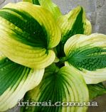 "Hosta""Afterglow"""